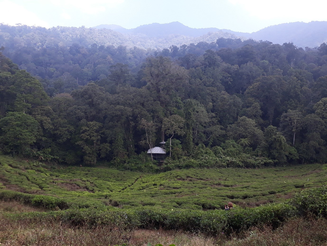 The edge of the rainforest bordered by a tea plantation, within Mount Halimun Salak National Park, West Java, Indonesia.